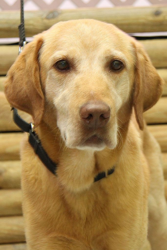 Adopt Mason On Dogs Golden Retriever Labrador Retriever Labrador