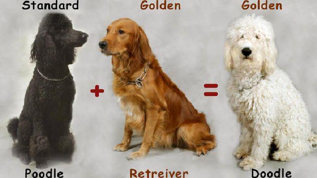 Milton Arrived April 7th Goldendoodle Doodle Dog Golden