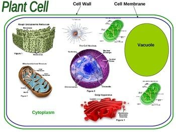 Cell structure cell structure plant cell and free worksheets covers the parts of the plant cell and their functions includes questions answers pictures graphics and an interactive cell diagram publicscrutiny Image collections