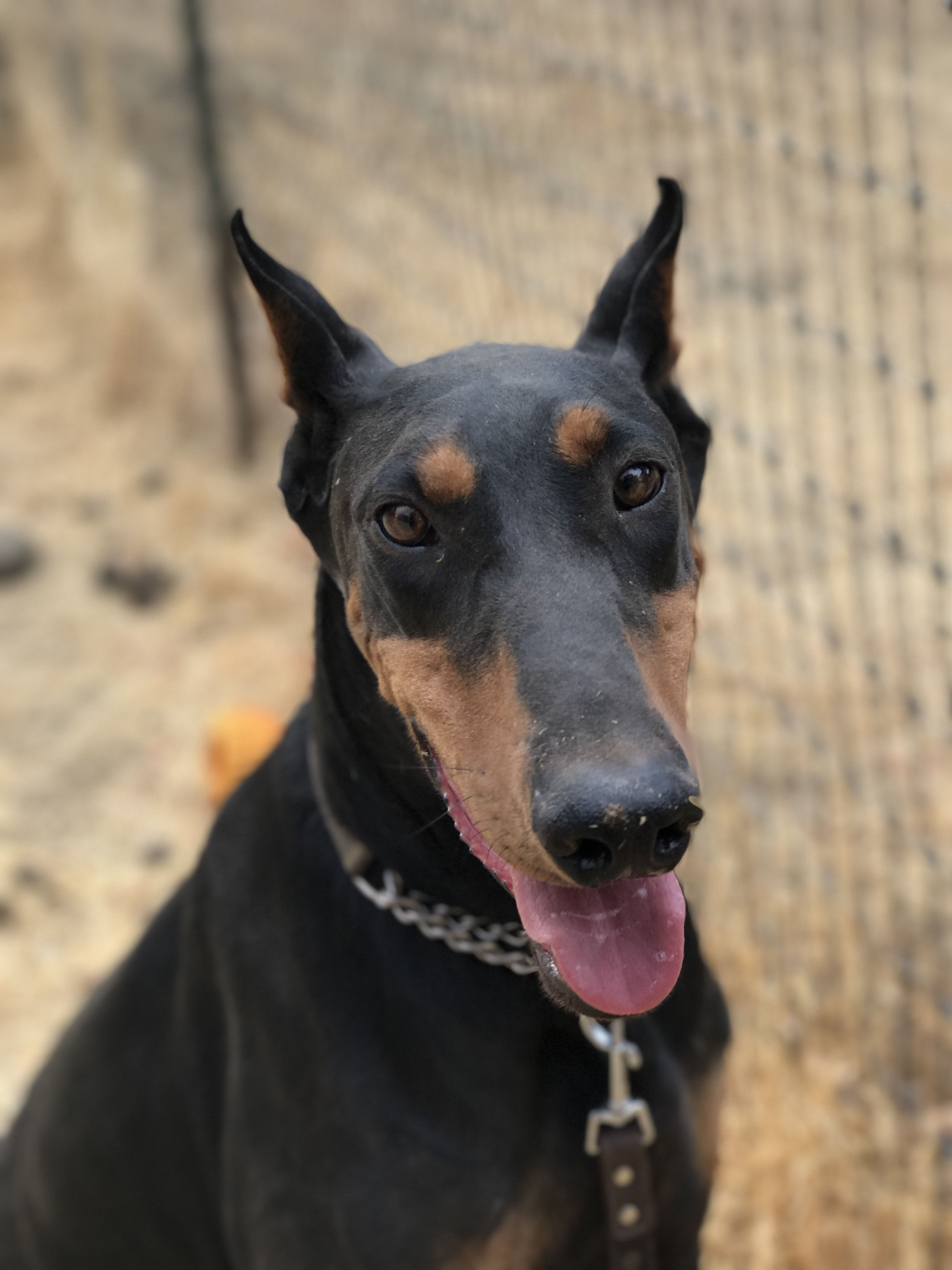 Rummy Is An Adoptable Doberman Pinscher Searching For A Forever