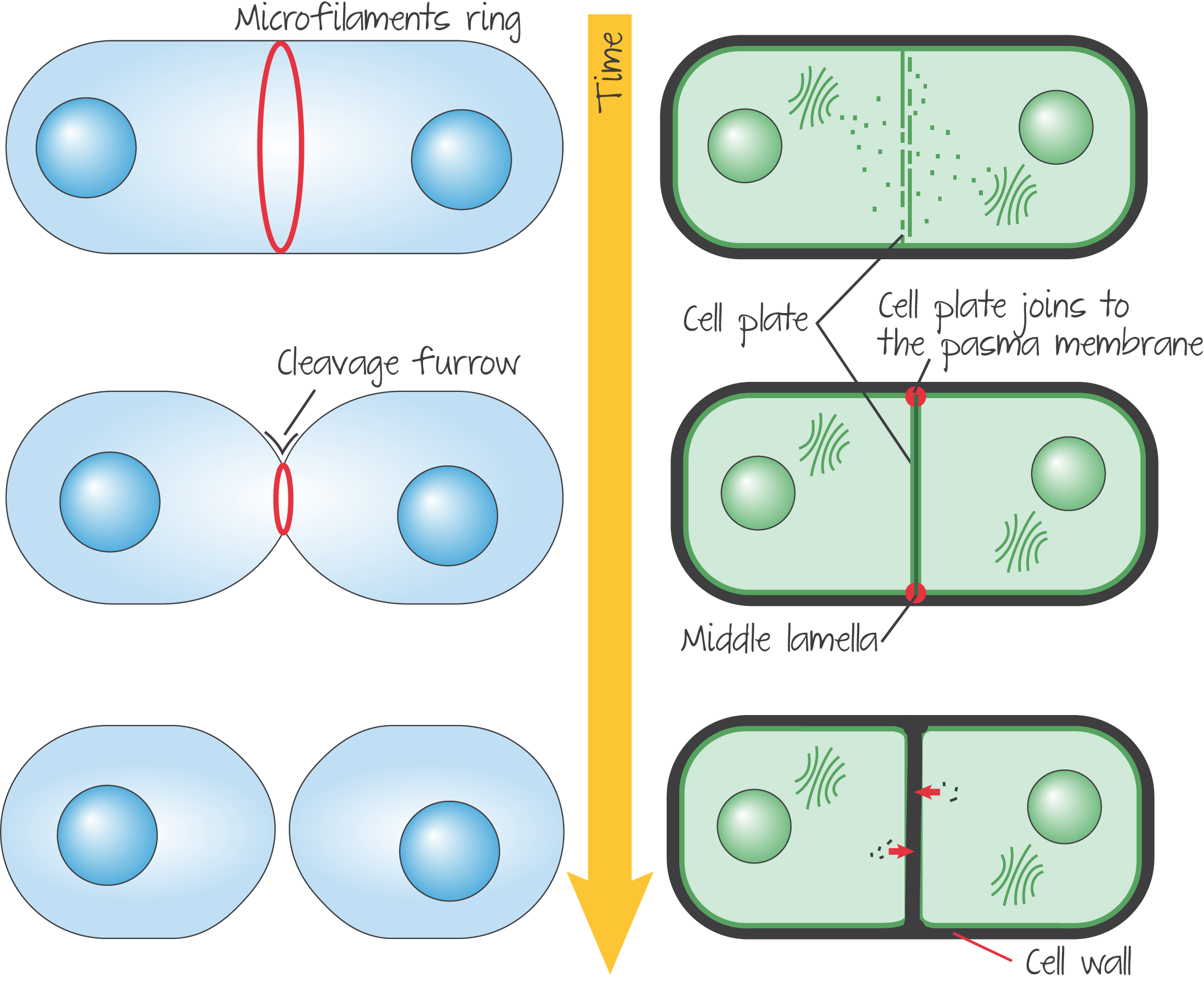 Cytokinesis in animal cell versus plant cell. | teaching | Pinterest