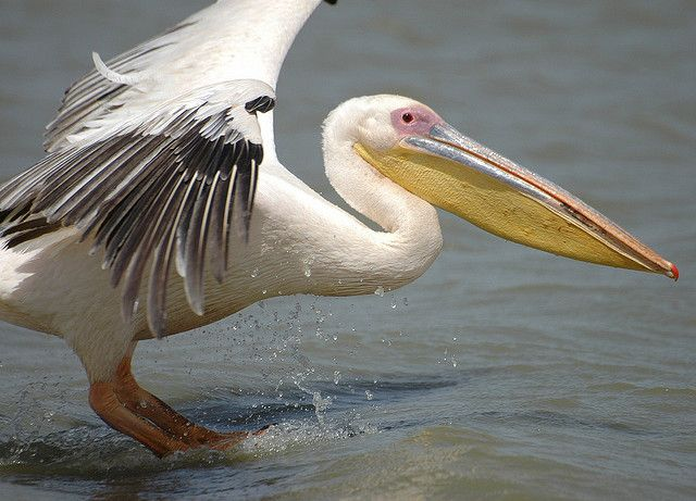 A Great White Pelican.  Mr Willoughby's pet