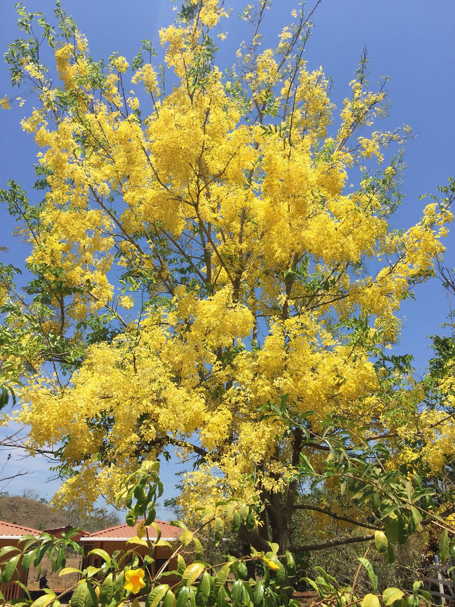 Cana Fistula Tropical Tree Plants Tropical
