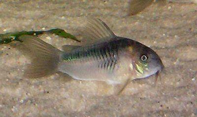 Corydoras Zygatus Aquarium Fish Beautiful Fish Freshwater Aquarium Fish