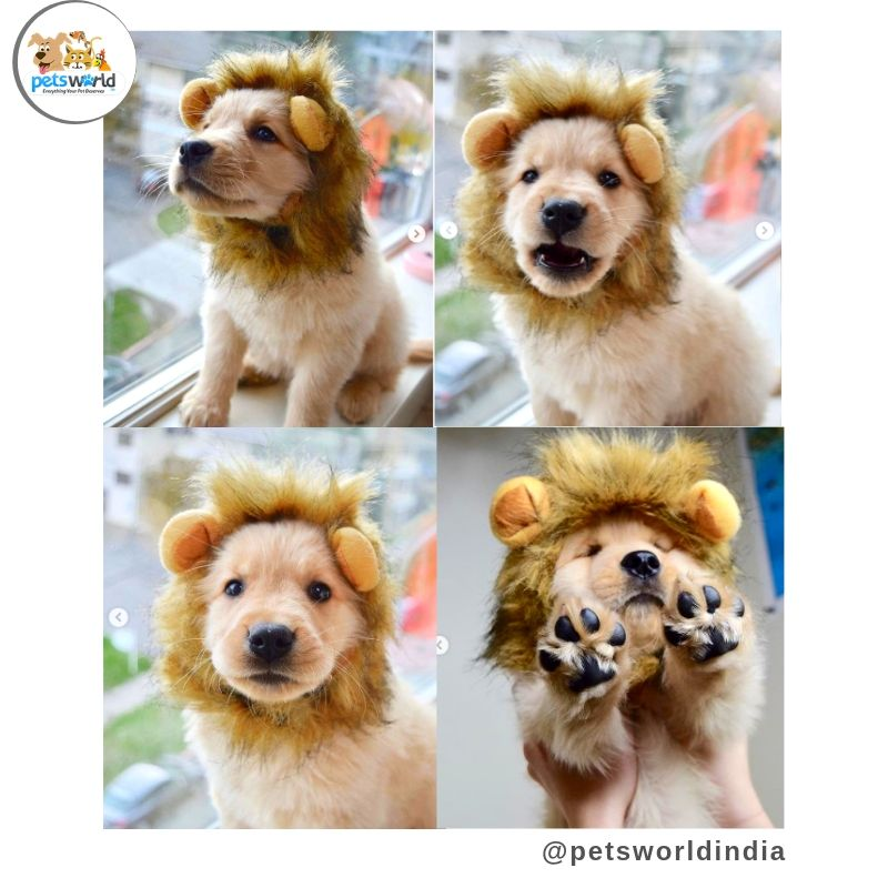 Mommy Said I M Looking Like A Little Lion Petsworld Lionking Dogs Puppy Lion Simba Dog Puppyface Cute Animals Pets Puppy Pictures