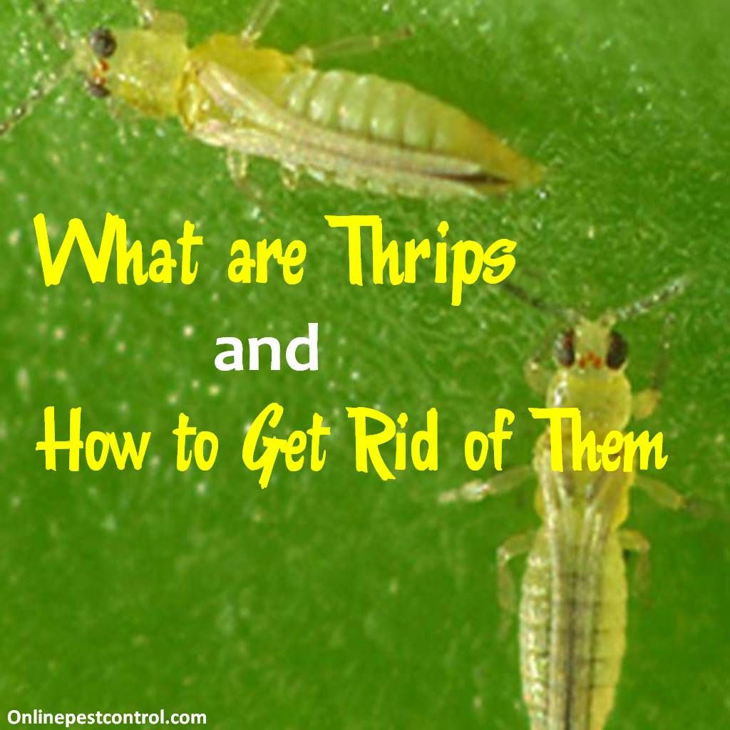 There Are Good Thrips And Bad Thrips Good Thrips Predaceous Thrips Are Beneficial Thrips As They Prey On Spide How To Get Rid Pest Control Mites On Humans