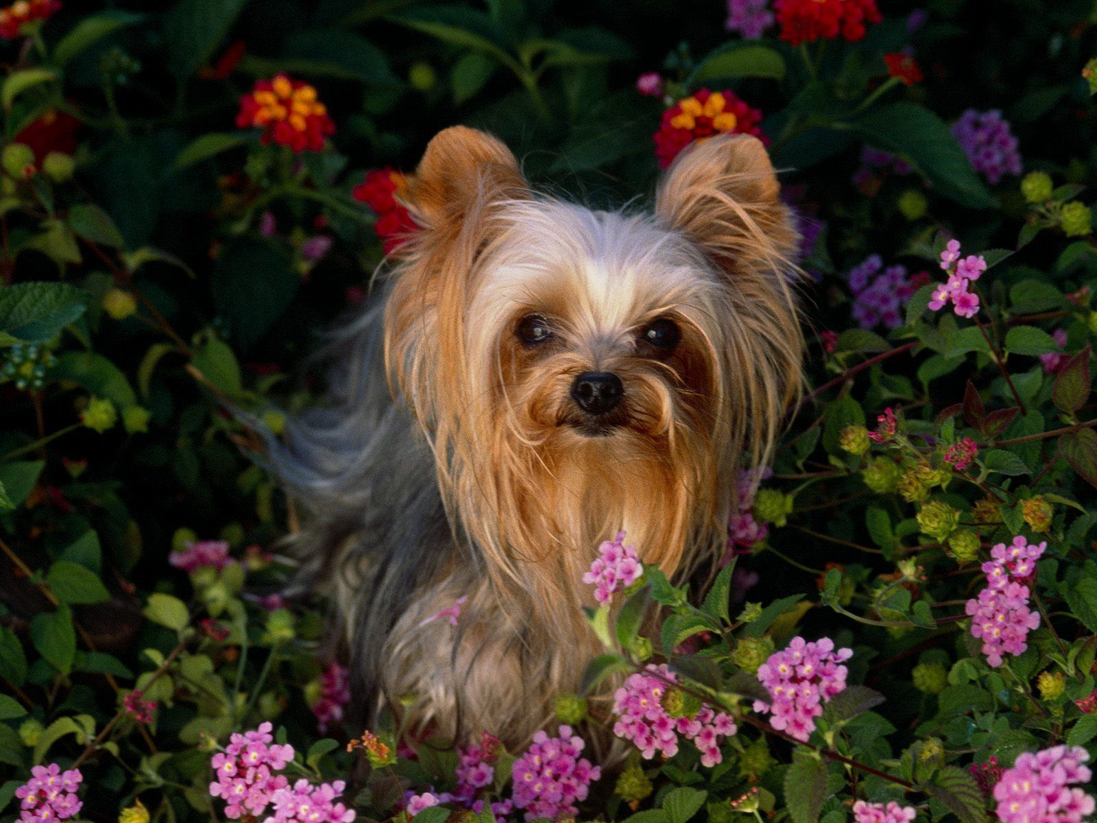 Details About Yorkshire Terrier Yorkie Dog 8 X 10 8x10 Glossy Photo Picture Yorkshire Terrier Dog Yorkie Puppy Yorkshire Terrier Puppies