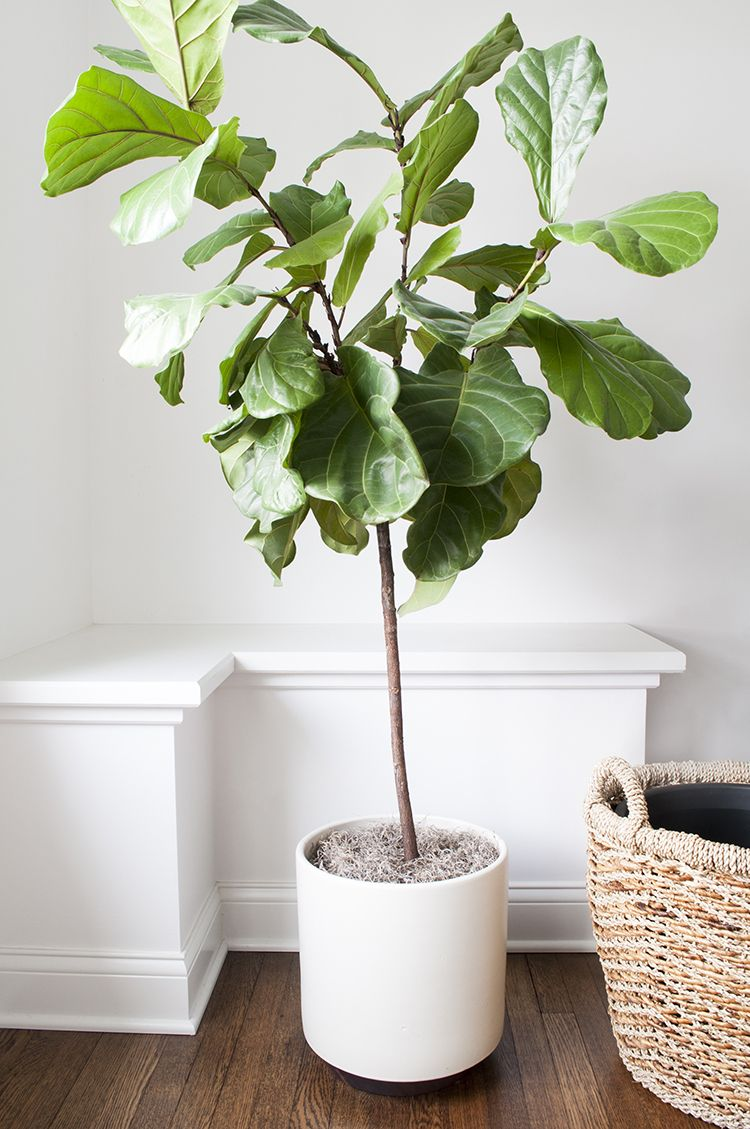 Fiddle Leaf Fig Tree In Modern Planter. Beautiful Tall Indoor Tree. Inside  Plants,