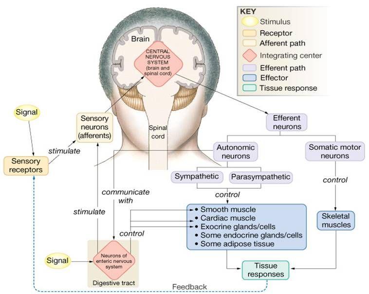 Nervous System Diagram / Austin Community College Associate Degree ...