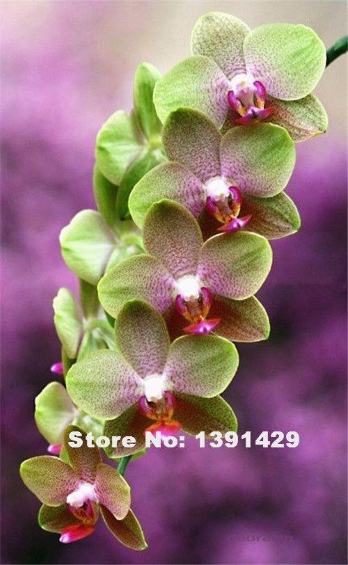 Hot Sale 100pcs 22 Colors Rare Cymbidium Orchid African Cymbidiums Seeds Orchid Flower Orchid Seeds Beautiful Orchids