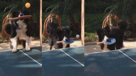 蘋果日報- 【短片】「我好認真㗎!」 牧羊犬叼球拍打乒乓波