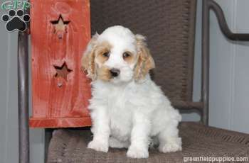 With adorable long ears and an outgoing personality, this sweet Cockapoo puppy can't wait to find a forever home. Mitch is great with children, is vet checked and current on shots and wormer. If you would like to find out more about Mitch please contact the breeder.