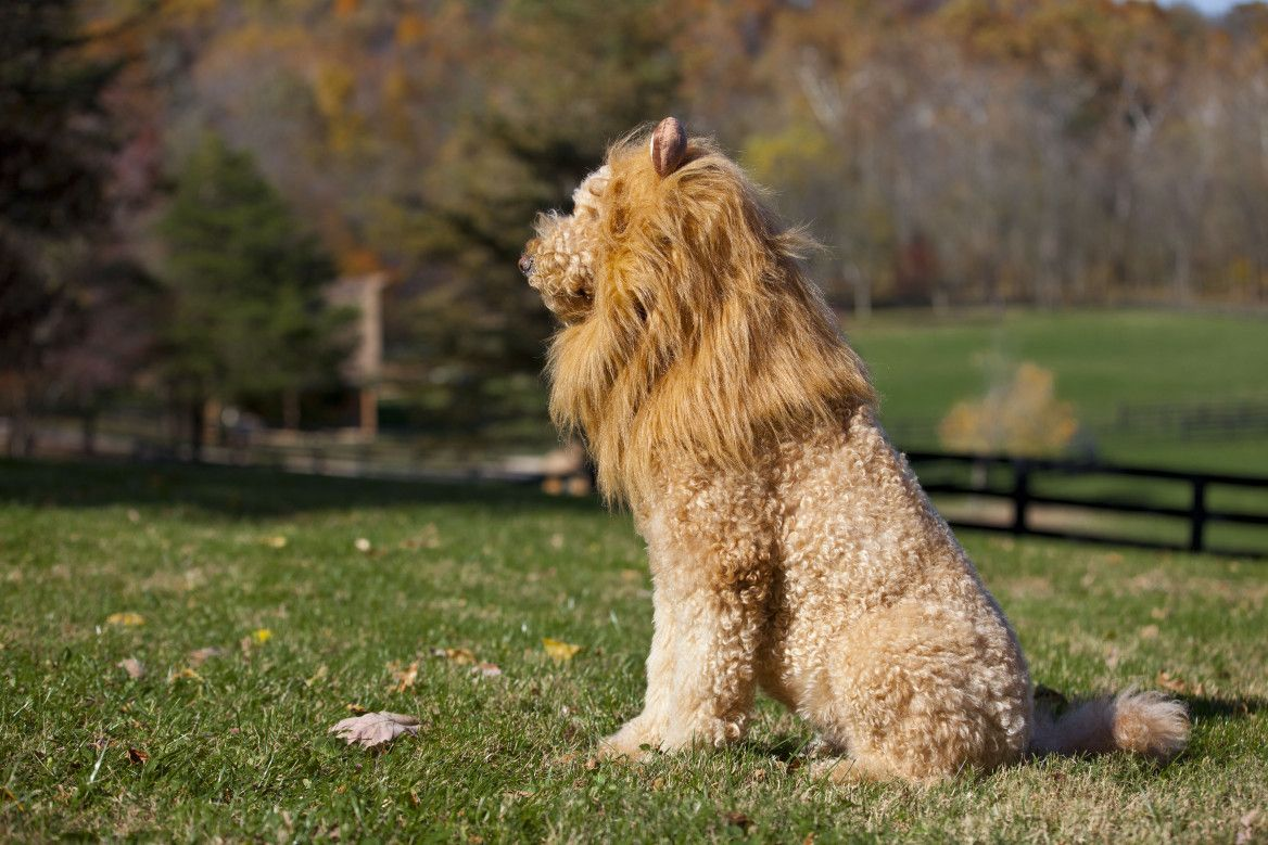 Bayley the Lion Lions photos, Lion dog, Photo wallpaper