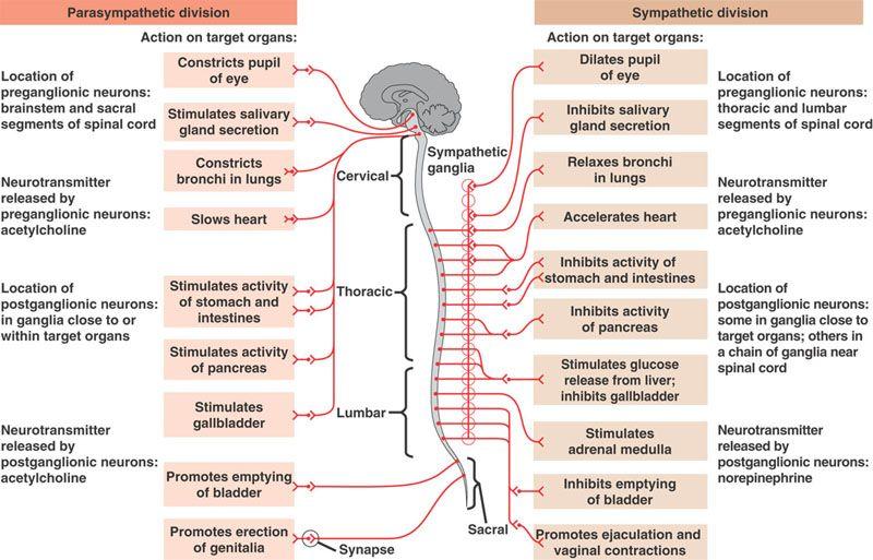Autonomic Nervous System The Autonomic Nervous System Ans Or