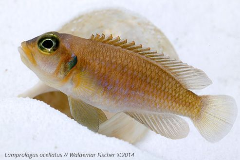 Der Schneckenbuntbarsch-Blog: Lamprologus ocellatus, Weibchen vor ihrem Schnecke... #Shelldweller #Aquaristik #fishkeeping