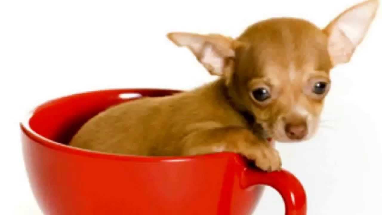 Teacup Chiwawa Dogs