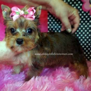 Female Teacup Yorkie Puppy For Sale Yorkie Puppy Yorkshire Terrier Yorkie