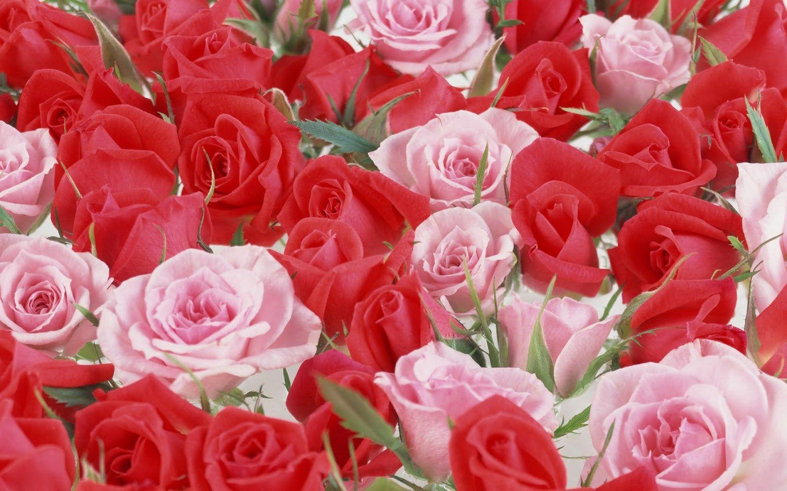 ورد ملون جميل Imagx Rose Flower Wallpaper Red Flower Wallpaper Beautiful Flowers Wallpapers