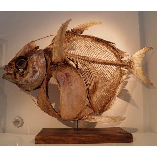 Opah Kingfish Skeleton Animal Skeletons Skeleton Fish Anatomy