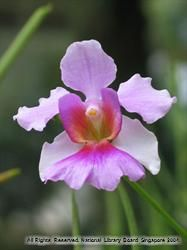 Vanda Miss Joaquim Infopedia Beautiful Orchids Beautiful Flowers Beautiful Flowers Garden