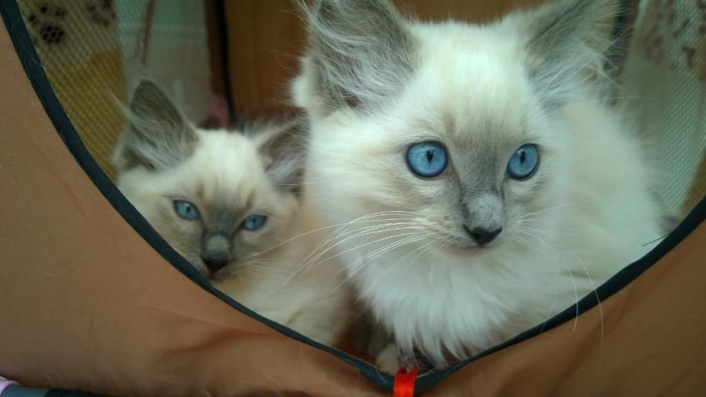 Post Free Classified Ads In United Kingdom Ragdoll Kitten Pets For Sale Kittens