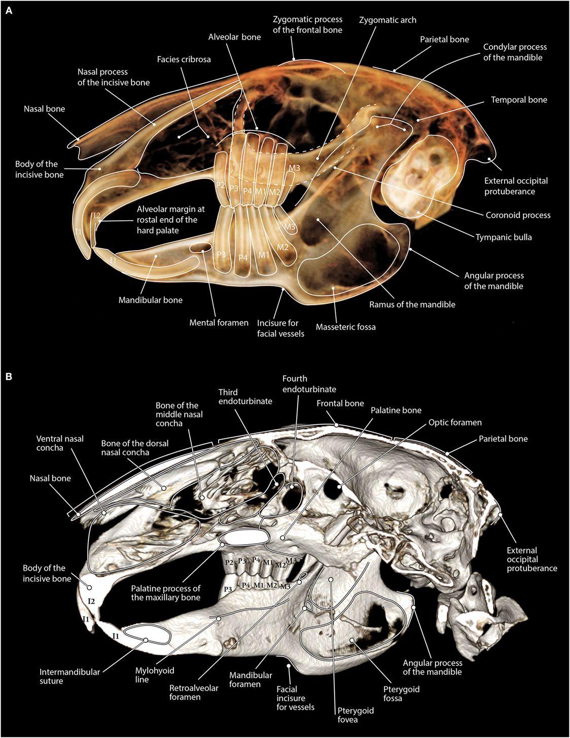 Rabbit Teeth Anatomy Choice Image Human Anatomy Learning Rabbits