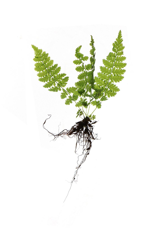 Baby fern mary jo hoffman still on white pinterest for Baby fern plant
