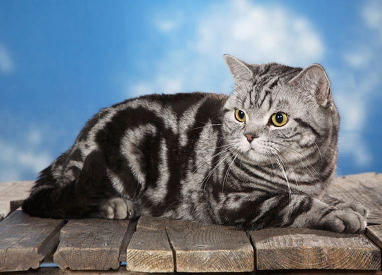 британские коты окрасы фото ним относятся, примеру
