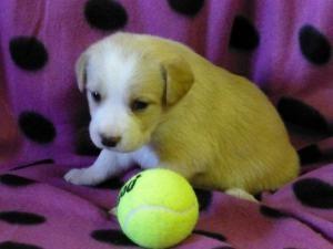 Midge Is An Adoptable Labrador Retriever Puppy In Murphy Nc Color Blonde White Markings Whit Labrador Retriever Puppies Retriever Puppy Labrador Retriever