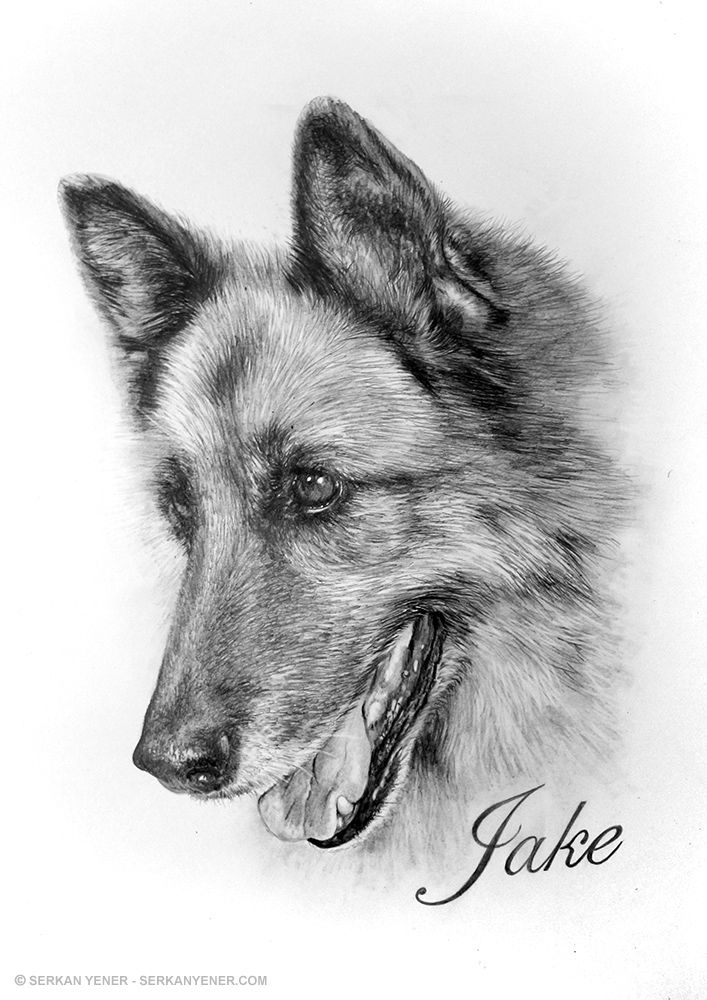 Pencil Drawing of a German Shepherd - Serkan Yener | psy i ...