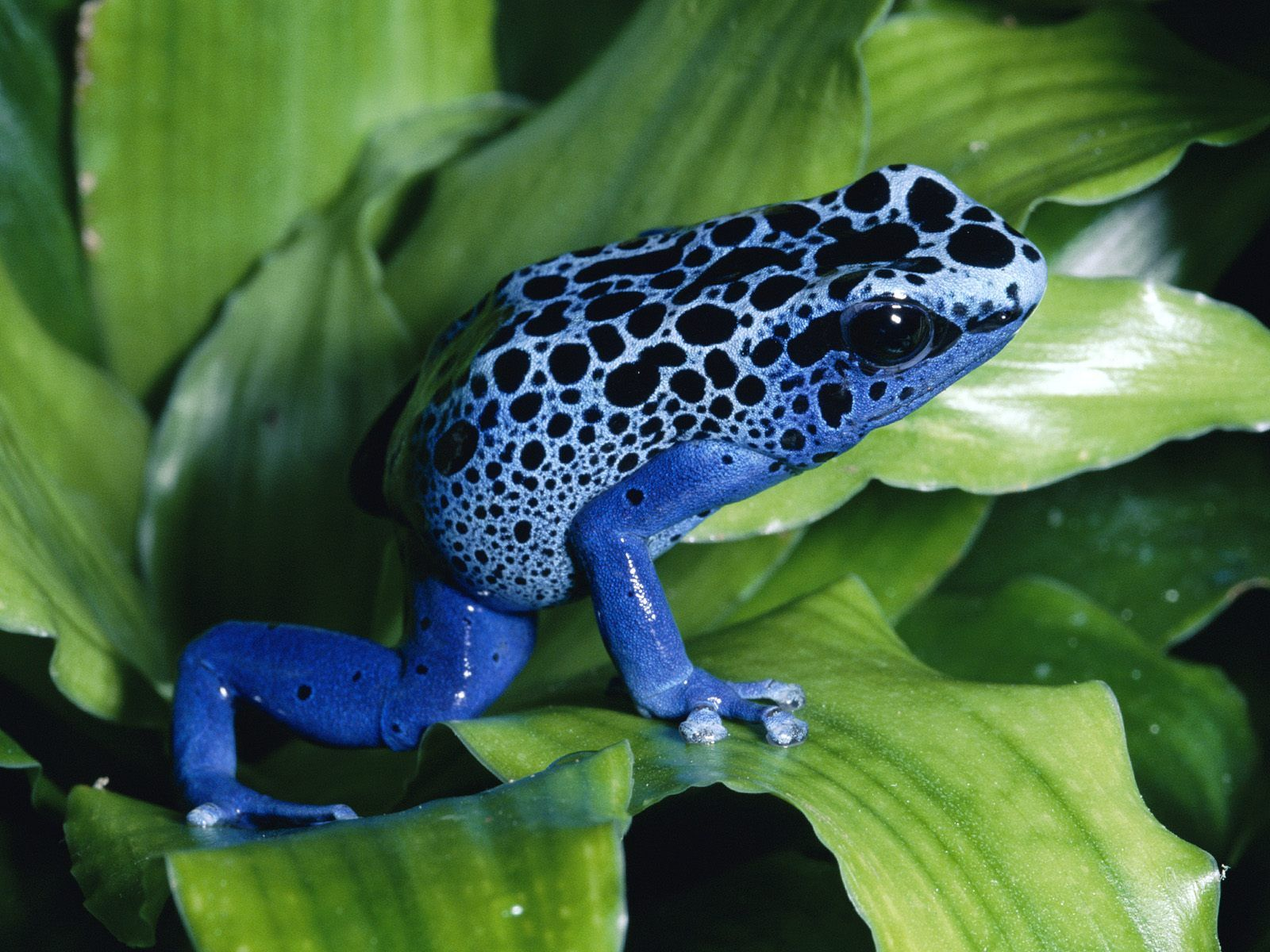 Endangered Animals in the Rainforest | Pinterest | Frogs, Dart frogs ...