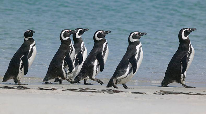 15 Animales En Peligro De Extinción Animales En Peligro De Extincion Pinguino De Magallanes Animales