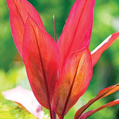 red-leafed ti plants (Cordy­line fruticosa),  glow like torches!