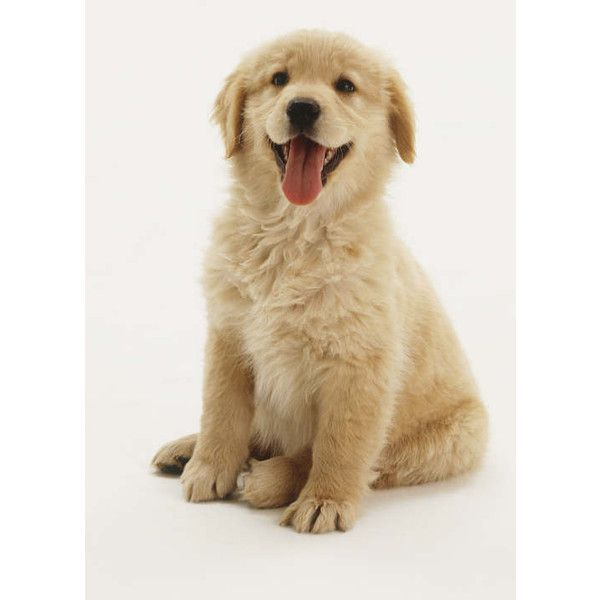 Pictures of Golden Retriever Puppy ❤ liked on Polyvore featuring animals, dogs, pets, backgrounds and random