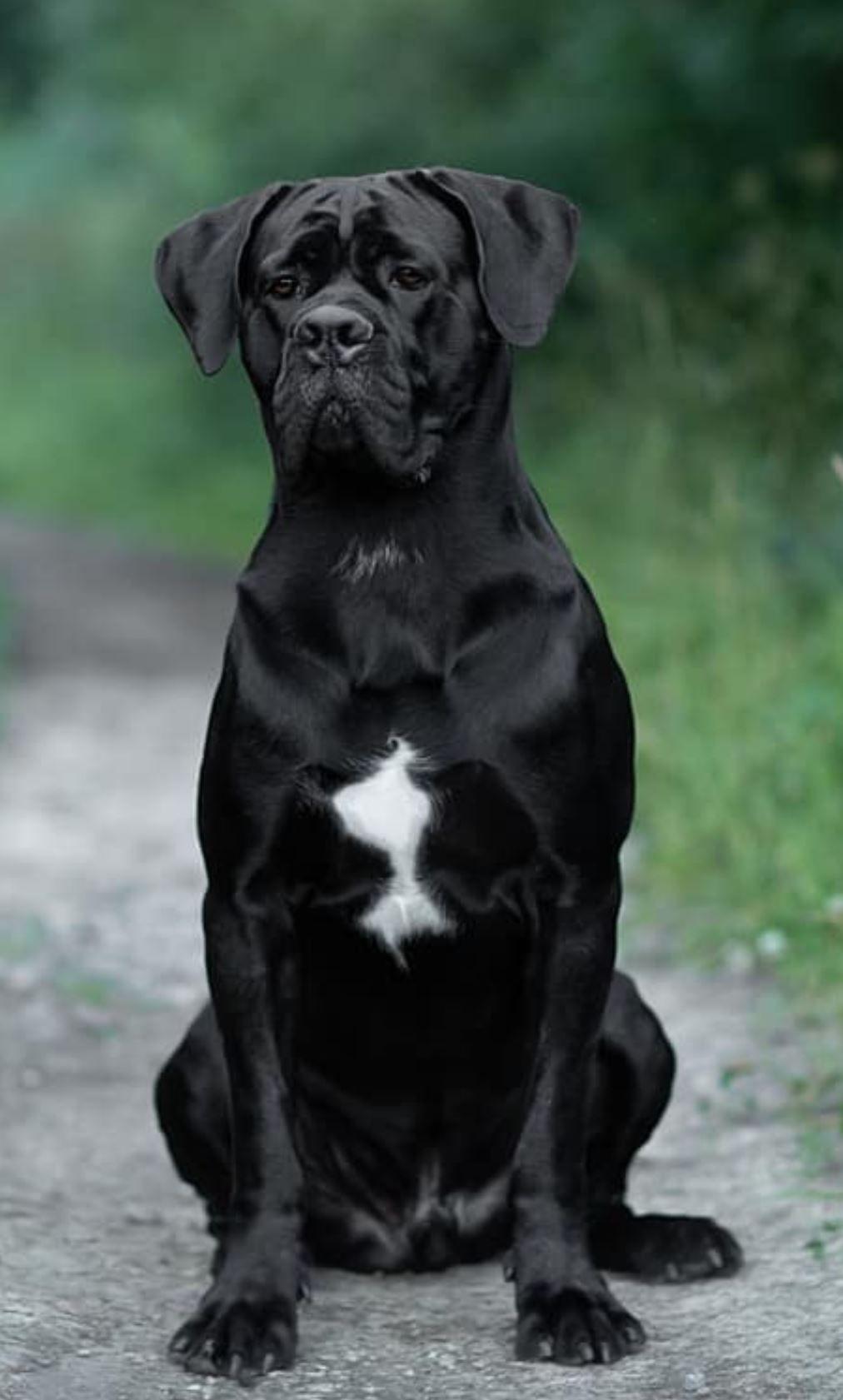Cane Corso Dog Photography Corso Dog Cane Corso Dog Cane Corso