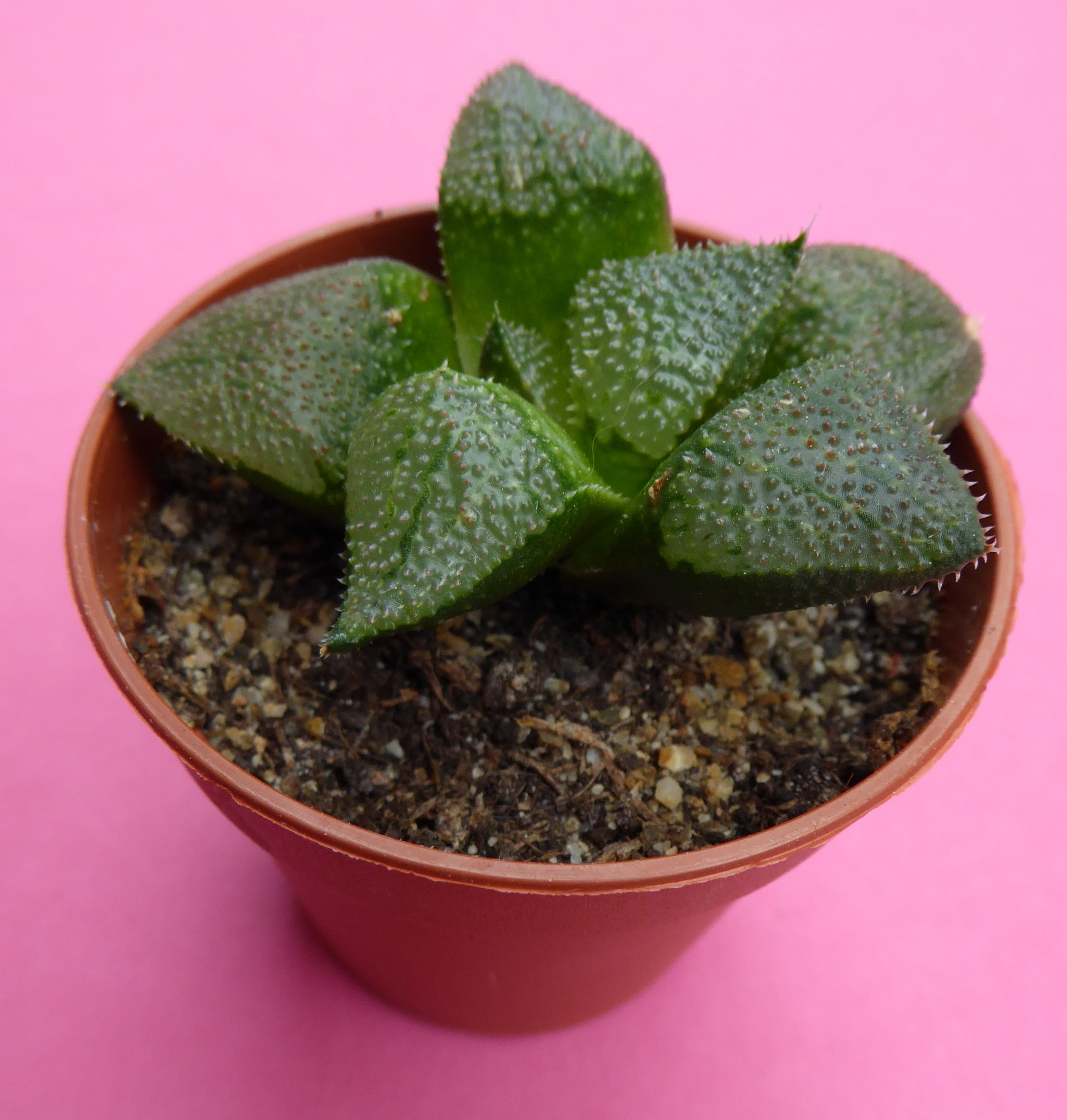 Haworthia mirabilis var. badia x emelyae (picta) in 5,5 cm pot 4 months after the purchase from Succulent Tissue Culture in the Netherlands