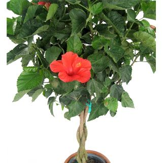 3 Gallon Flowering Trees Hibiscus Braided Tree With Images