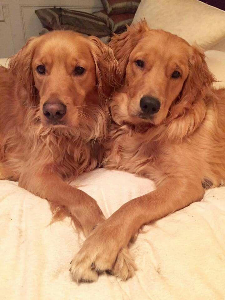 Pinterest Schneider24 Golden Retriever Retriever Dog Lovers