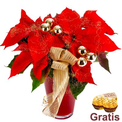 Weihnachtsstern 2 Ferrero Rocher Zimmerpflanzen Blumen Online Verschicken Auf Floraprima De Weihnachtsblumen Weihnachts Pflanzen Weihnachtsstern Pflanze