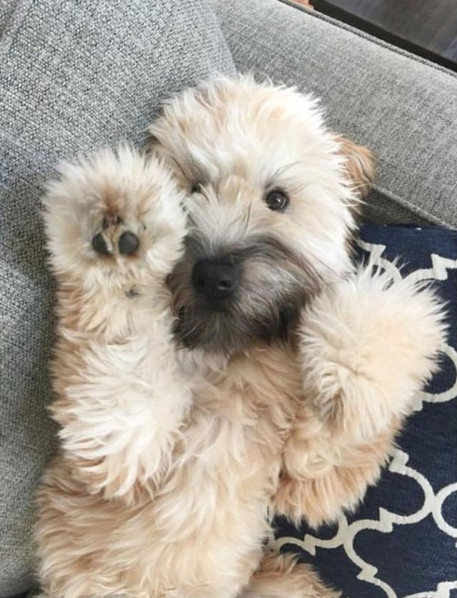 Pin On Wheaten Pups