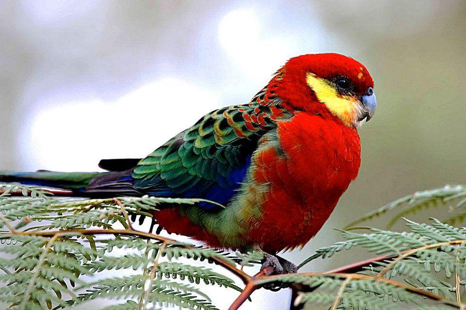 Western Rosella from Western Australia Pet birds