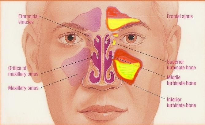 1000 ideas about paranasal sinuses on pinterest nasal cavity x  : facial sinus cavity diagram - findchart.co