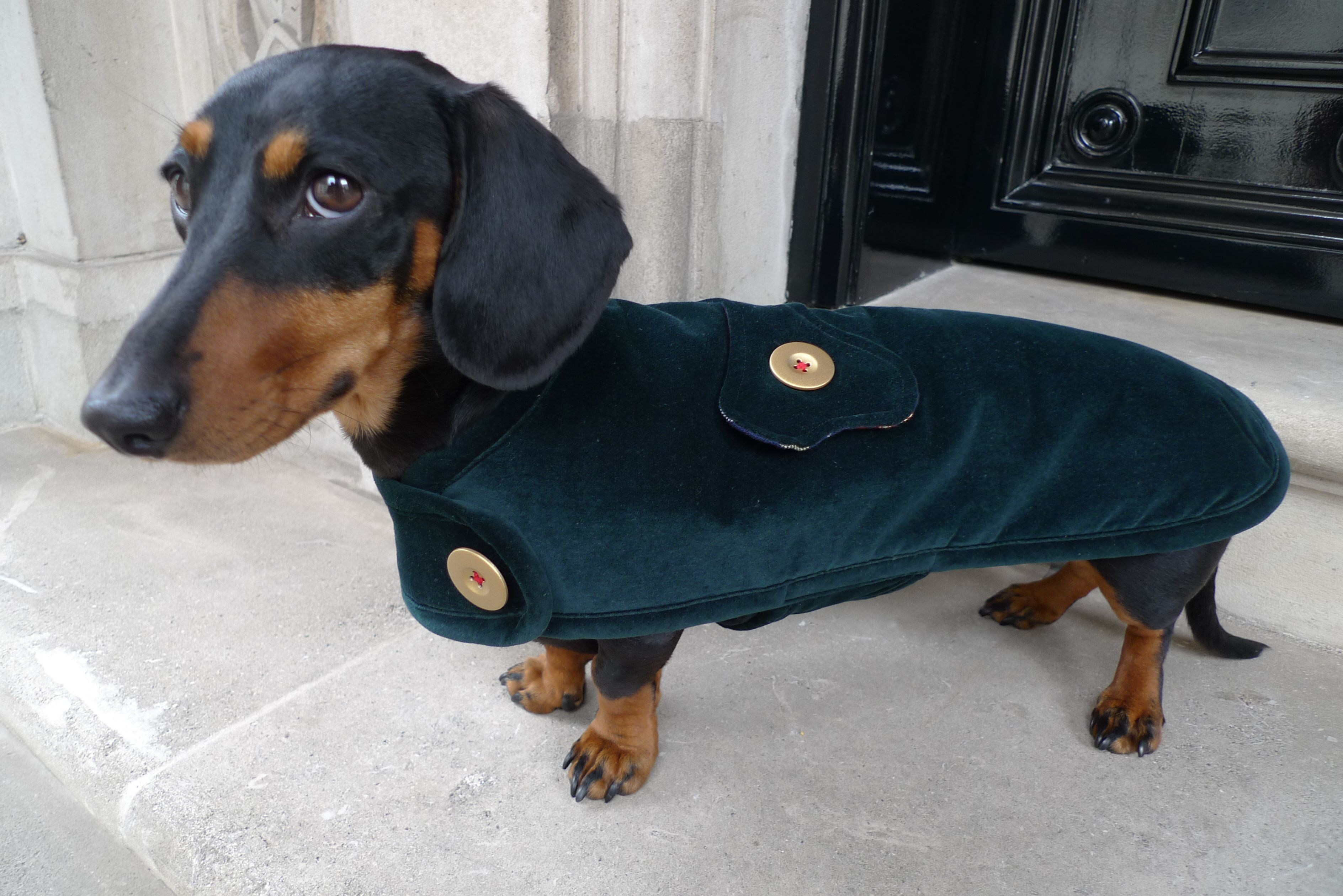 The St James Velvet Jacket Dachshund Doxie Puppies Funny
