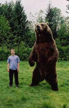 Kodiak Brown Bears Bears Breeds Pictures Habitats Species Images Photos Grizzly Panda Polar Bear Kodiak Brow Brown Bear Kodiak Brown Bear Cute Polar Bear