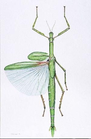 Goliath stick insect   Naturalisme  dessins d   tudes