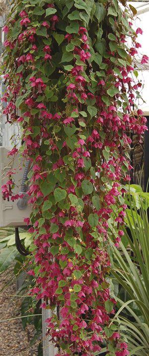 Purple Bell Vine Seeds For Sale Quot Rhodos Quot Rhodochiton
