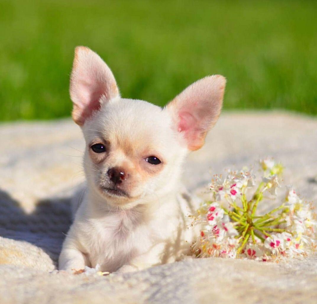 Chihuahua Dog Chiwawa Dog Information Chihuahua Cute Puppies