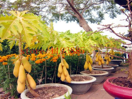 Mini Fruit Potted Bonsai 30 Papaya Tree Seeds Perfect Fruit For Your Family Diy Home Garden Best Healthy Food For Famil Papaya Tree Fruit Plants Trees To Plant