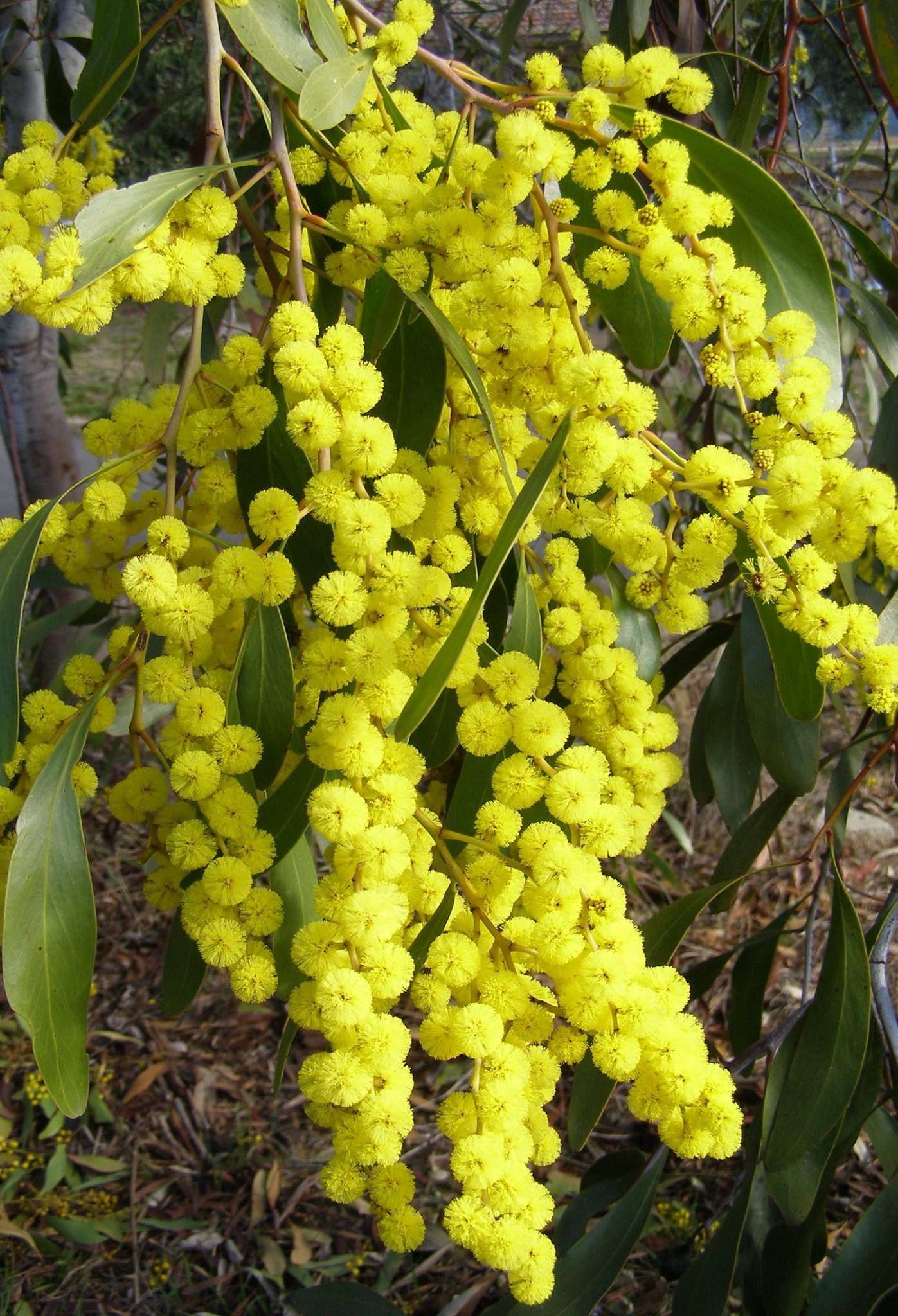 Golden Wattle Australia S National Flower Australian Native Garden Flowers Australia Australian Plants