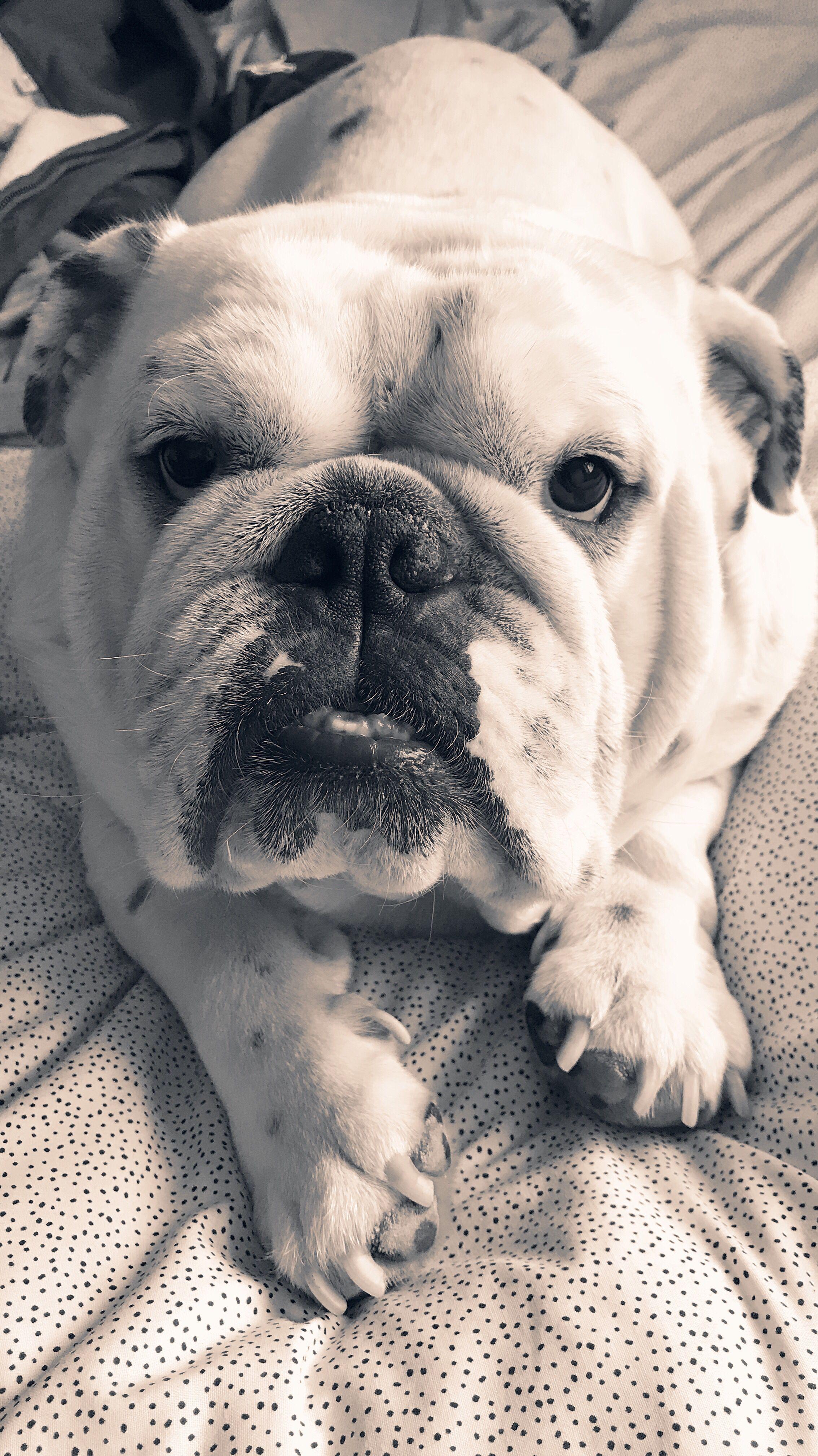 Bulldog English Bulldog British Bulldog Black And White Photo Dogs